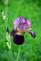 A purple Iris shows off it's colors.. Taken May 15 My yard, dubuque by Lorlee Servin.