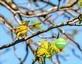 Don't see any fishflies around here!? Yellow Warbler looks for insects in tree. Taken May 15, 2020 Heritage Pond by Deanna tomkins.