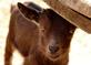 "A baby kid goat plays ""peek-a-boo."". Taken March 19, 2021 Near Darlington, WI by Veronica McAvoy."