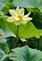 Yellow water lily blooms.. Taken July 15, 2021 John Deere Marsh, Dubuque, IA by Veronica McAvoy.