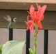 Hummingbird getting a little snack. Taken Sunday August 30, 2015 in Dubuque IA by Beth Woodward.