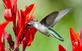 Hummingbird enjoys nectar from a Canna flower. Taken August 17, 2017 Backyard, Dubuque by Deanna Tomkins.