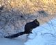 Black squirrel sits on shoreline ice at Massey Marina. Taken January 1, 2017 Massey Station by Deanna Tomkins.