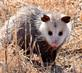 Possum finds a meal in a roadside ditch. Taken March 11, 2018 Dubuque County by Swiss Valley Park by Deanna Tomkins.