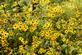 Pretty yellow brown eyed Susan's bloom along a foot trail.. Taken August 25, 2021 Mines of Spain, Dubuque, IA by Veronica McAvoy.
