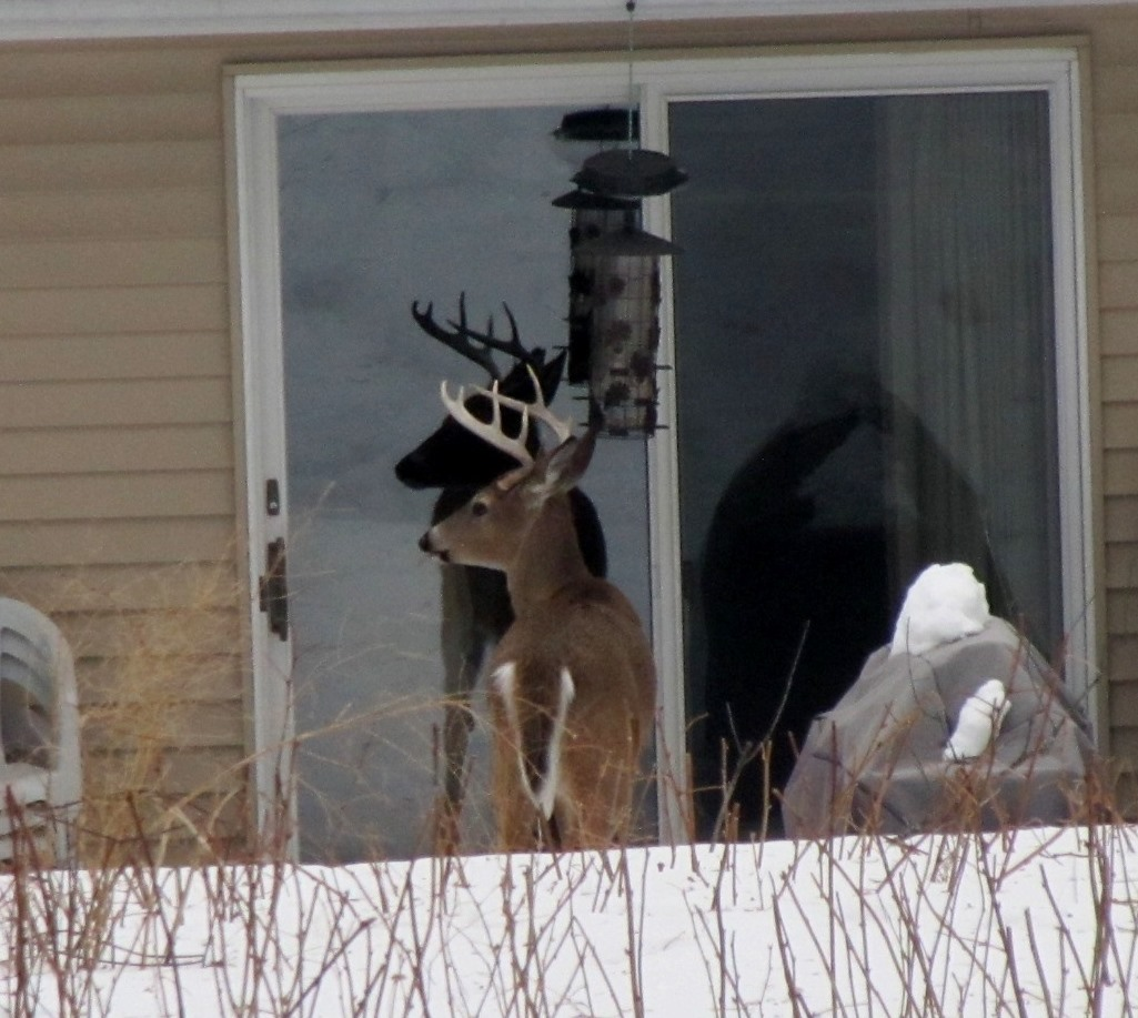 A deer looking in neighbors kitchen window. Taken Feb 27, 2014 2375 Simpson by Paul Hemmer.