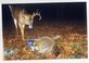 Deer & Raccoon. Taken 11/12/2014 Property by Dogtail Rd, Potosi, Wisconsin by Don Strumberger.