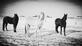 3 Horses Walking in a Winter Wonderland. Taken January Outside of Dyersville Iowa by Tia Recker.