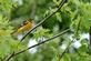 Juvenile baltimore oriole looks around at it's surroundings.. Taken July 9, 2021 John Deere Marsh, Dubuque, IA by Veronica McAvoy.