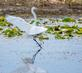 A White Egret seems to walk on water during takeoff. Taken May 31, 2021 Green Island Nature Preserve, south of Bellevue  by Deanna Tomkins.