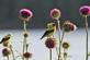 Two goldfinches perch on top of bull thistles at a park.. Taken June 14, 2018 A. Y. McDonald park, Dubuque, IA by Veronica McAvoy.