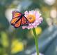A monarch butterfly finds a meal on a zinnia. Taken September 5, 2021 Backyard, Dubuque by Deanna Tomkins.