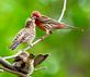Finch feeding an offspring as another waits patiently for its meal. Taken June 11, 2019 Dubuque  by Deanna Tomkins.