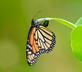 Monarch Butterfly lays an egg on an essential milkweed plant. Taken August 19, 2016 Backyard garden by Deanna Tomkins.