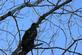 An immature eagle sits in a tree.. Taken February 17, 2017 O'Leary's Lake by Veronica McAvoy.