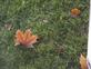 standing leaf. Taken October 19, 2014 at 7:45 AM outside my window by Joanne Sullivan.