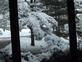 boughs of snow. Taken 1/21/2015 outside my window by Joanne Sullivan.