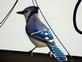 A beautiful Blue Jay. Taken 10/19/14 with a stain glass like tail by Stephanie Beck.