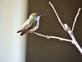 A Hummingbird. Taken 8/14/14 in the morning sun by Stephanie Beck.