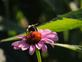 Bee happiness. Taken 8/14/14 on a cone flower by Stephanie Beck.