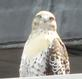 peregrine falcon . Taken 03/08/2014 On the roof of our Mt. Loretto Motherhouse  by Sister Kay Cota, PBVM.