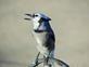 A blue Jay. Taken 10/3/14 screeching for its mate by Stephanie Beck.