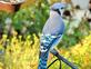a Blue Jay. Taken 10/3/14 in my garden by Stephanie Beck.