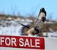 Can't hawk this! Hawk takeoff from 'For Sale' sign. Taken January 7, 2017 John F. Kennedy Rd., Dubuque by Deanna Tomkins.