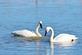 Two trumpeter swans swim in a small pond.. Taken November 17, 2018 Hurtsville Interpretive Center, Maquoketa, IA by Veronica McAvoy.