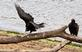 A Turkey Vulture carefully walks on a branch as another watches its balancing act. Taken September 27, 2020 Dubuque along the Mississippi River by Deanna Tomkins.