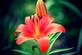 Lily in Bloom. Taken 6-10-21 Dubuque area              by Peggy Driscoll            .