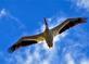 Pelican flies overhead. Taken June 5, 2016 Dam and Lock #11 by Deanna Tomkins.