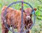 Bullseye! Calf is framed by barbed wire. Taken September 28, 2019 Dubuque County on west end by Deanna Tomkins.