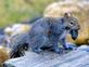 Squirrel picks up a rock, apparently thinking it was a nut, then tried to bury it in the yard. Taken February 24, 2017 Backyard by Deanna Timkins.