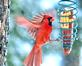 Cardinal in motion tries to land on a corn feeder . Taken February 4, 2021 Backyard, Dubuque by Deanna Tomkins.