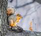 Red squirrel poses for a nutty photo (enjoying a walnut) . Taken December 30, 2018 Swiss Valley Park by Deanna Tomkins.