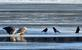 Crows wait for scraps as eagles dine on a fish. Taken January 1, 2017 Below Lock and Dam, Dubuque by Deanna Tomkins.