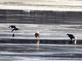 Crows squabble over the few scraps left behind from eagle's catch. Taken January 1, 2017 Below Lock and Dam, Dubuque by Deanna Tomkins.