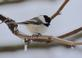 Chickadee on an icy branch. Taken February 25, 2017 Backyard by Deanna Tomkins.
