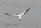 Impressive out-stretched wingspan of a pelican over the river.. Taken June 11, 2018 Lock and Dam #11, Dubuque, IA by Veronica McAvoy.