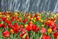 Tulips burst with color . Taken April in Pella, Iowa by Lorlee Servin.