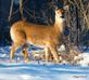 Deer looking for food. Taken 2-18-21 Dubuque area             by Peggy Driscoll           .