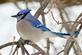 A bluejay waits out February. Taken February in Dubuque by Lorlee Servin.