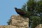 Turkey Vulture. Taken 8/27/15 Julian Dubuque Monument by Olivia Kruse.