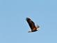 An eagle flies overhead along a path.. Taken January 11, 2021 Dubuque, Iowa by Veronica McAvoy.