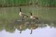 Two canadian geese reflections at Heritage Pond.. Taken May, 2016 Heritage Pond by Veronica McAvoy.