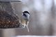 Black capped chickadee getting some seeds to eat.. Taken January 6, 2018 Mines of Spain, Dubuque, IA by Veronica McAvoy.