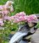 Blooming Variegated Weigela arches over waterfall. Taken May 25, 2016 Backyard Garden and Pond by Deanna Tomkins.
