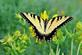 Yellow swallowtail butterfly with wings wide open.. Taken August 1, 2019 32nd street Bee branch, Dubuque, IA by Veronica McAvoy.