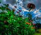 Zinnias. Taken Late September In my yard by Stephanie Beck.